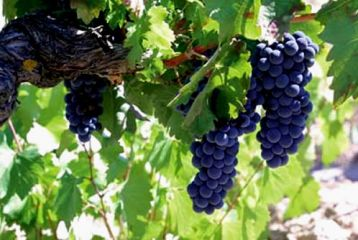 producing grapes